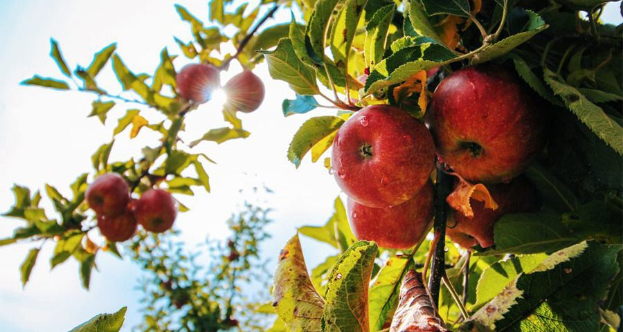 Gathering Road Apples – A Time of Rediscovery 06.22.2020 by Cathy Schueler
